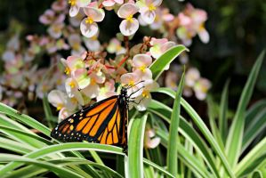 Monarch Butterfly by ParadoxGirl411