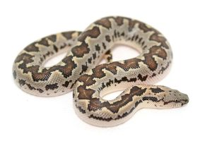 rs sand boa by animalstock