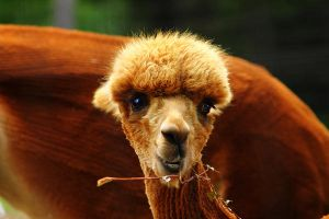 Baby Alpaca 2 by S-H-Photography