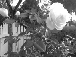 Black and White Rose by Missy-Babby