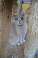 Scottish fold by MollyMotions