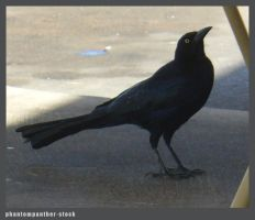 Crow Stock 001 by phantompanther-stock