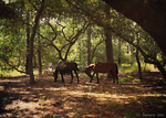 Wild Horses of Corolla by lucyforbidden