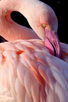 Flamingo 04 by s-kmp