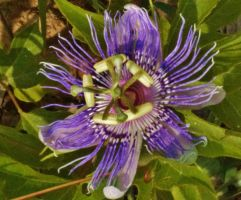 The Purple Passionflower by Matthew-Beziat