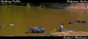 Bathing Cattles by TusharBoss