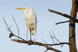 Egret Perched 3 by bovey-photo