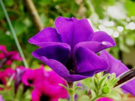Pansies by MissElizabethViro