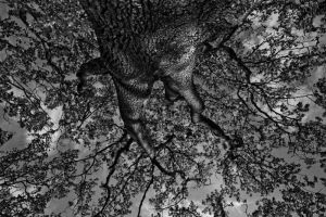 Beacon Hill Oak 2 by Kekilen