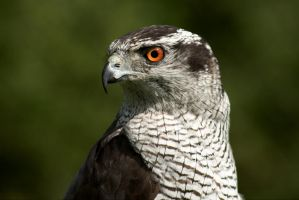 European Goshawk by FurLined