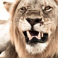 Lions Smile by jerseybean