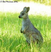 Baby Eastern Wallaroo by BreeSpawn