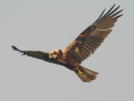 The Hunter - Marsh Harrier - female by Jamie-MacArthur