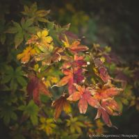 Some Red Leaves by DrAndrei