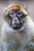 Barbary Ape by darkSoul4Life
