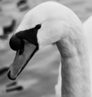 The Swans Head by drumcrazy779