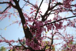 Pink tree blossoming stock #2 by croicroga
