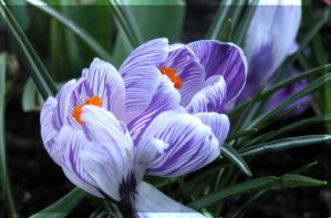 Crocus Vernus II by lovingenglish