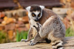 Ring-tailed Lemur II by amrodel