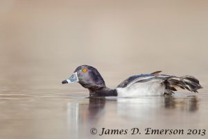 Ring-necked Duck Stretch by jamesjde
