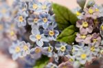 Forget-Me-Not from the clay by KLutskaya