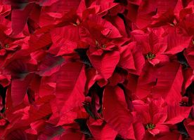 Poinsettas by lylejk