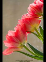 Spring Tulips by GMCPhotographics