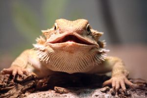 Bearded Dragon 7 by MegMarcinkus