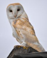 Barn Owl by WorldII