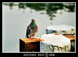 Pigeon sitting on dock piling by Luv2suspendyou