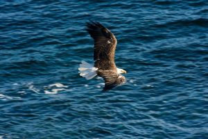 Bald Eagle BIF by AmirNasher