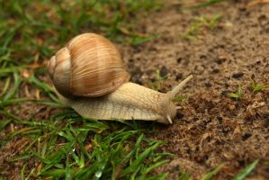 Burgundy snail 2 by steppelandstock