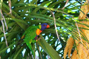 Wild Rainbow Lorikeet in a palm tree by N-ScapePhotography