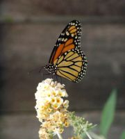 Monarch 1 by ShareLife