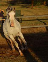 JA Grey Arab Canter Directly toward by Chunga-Stock