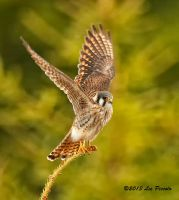 Kestrel by Les-Piccolo