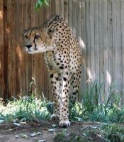 Denver Zoo 199 Cheetah by Falln-Stock