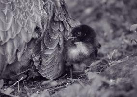 A Wild Baby Chick by GroahPhoto