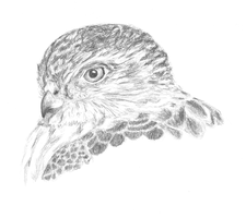 Sharp-Shinned Hawk by EdgedFeather
