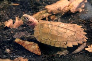 Smiling turtle by BazarDeLaNature