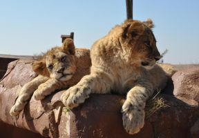 Lion cubs - stock by kridah-stock