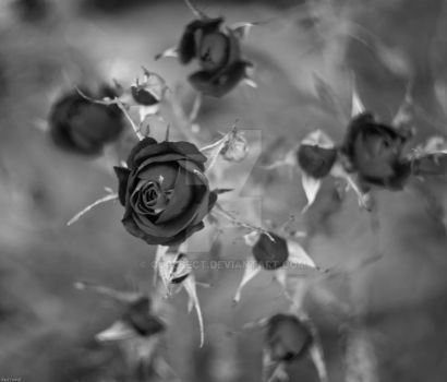 Black and White Roses by CoreSect