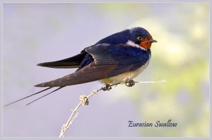 Morning Swallow by Jamie-MacArthur