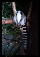 Ring-Tailed Lemur by vbgecko