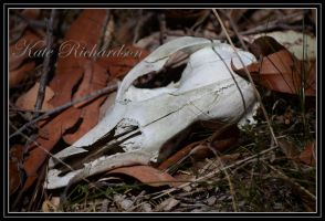 Wallaby skull by Purple-Dragonfly-Art