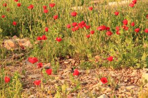 Poppies 3 by yasminstock