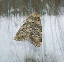 Marbled Beauty Moth on Front Door by SrTw