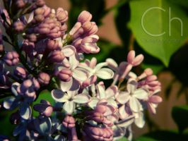 Flowers by Champineography