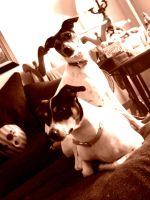 My Rat Terriers, Max and Lilly by natashaaa