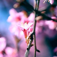 Cherry Blossom by incolor16